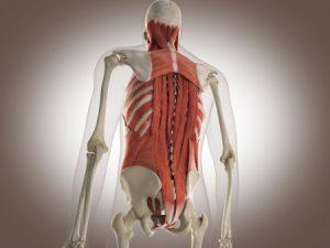 Spieren in de rug van belang voor oefeningen tegen rugpijn.